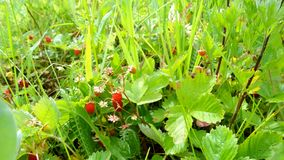 Forest strawberry fields in Russia. Fresh and green spring fields with forest strawberries in Russia stock images