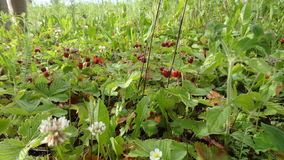 Forest strawberry fields in Russia. Fresh and green spring fields with forest strawberries in Russia Stock Photo