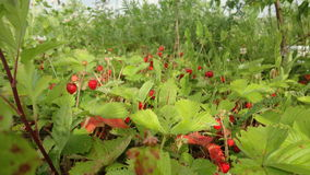Forest strawberry fields in Russia Stock Images