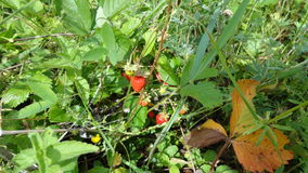 Forest strawberry fields in Russia. Fresh and green spring fields with forest strawberries in Russia Stock Photography