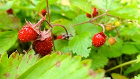 Forest strawberry fields in Russia. Forest strawberries in Russia in spring Stock Photos