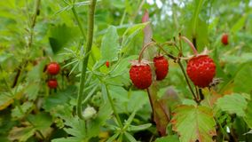 Forest strawberry fields in Russia. Forest strawberries in Russia in spring royalty free stock images