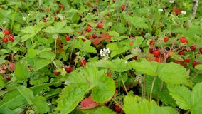 Forest strawberry fields in Russia. Forest strawberries in Russia in spring Stock Image