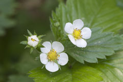 Forest strawberry flowers Royalty Free Stock Images