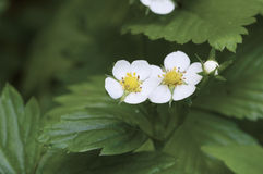 Forest strawberry flowers Royalty Free Stock Photos