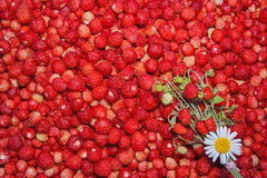 Forest strawberry stock images