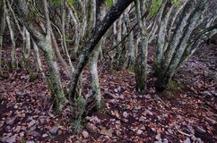 Forest of strawberry tree. Forest of strawberry tree Arbutus unedo. Monfrague National Park. Caceres. Extremadura. Spain royalty free stock image