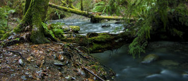 Forest Stream. A stream flowing through the majestic forests of the pacific northwest. (restricted focus lens blur Stock Photography