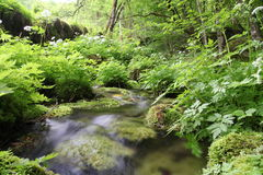 Forest stream. Surrounded by green vegetation Royalty Free Stock Photography