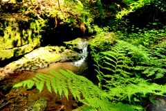 Forest stream. Fern on a Little river in a deep old forest stock photography