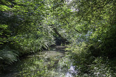 Forest stream in dense green vegetation Royalty Free Stock Photography