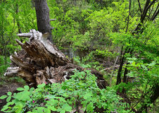 Forest Stream El tocón de un árbol viejo Rose floreciente Foto de archivo libre de regalías