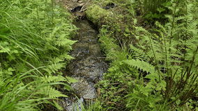 Forest stream among the ferns. Stream flows in the forest among the ferns stock video