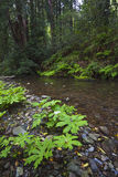 Forest stream in northern California Royalty Free Stock Image