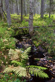 Forest stream. Small stream flows in lush undergrowth of boreal forest which is in natural state Royalty Free Stock Photo