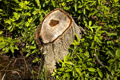 Forest Stump Stockbilder