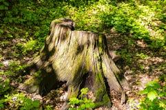 Forest Stump nell'ambito della luce solare sui precedenti di erba fotografia stock