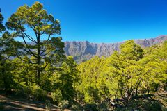Forest with subspecies pines Pinus canariensis. In Caldera of Taburiente, La Palma, Canary Islands stock photography