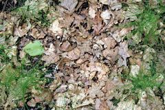 Forest substrate - last year& x27;s oak leaves and fresh green shoots. Stock Images