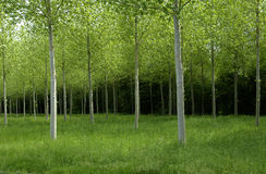 Forest in summer Royalty Free Stock Image