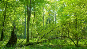 Forest at summer midday. Hot sunny summer midday at natural deciduous forest stock photography