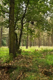 Forest in summer with oak tree. Oak tree in summer with pine forest in background Stock Photography