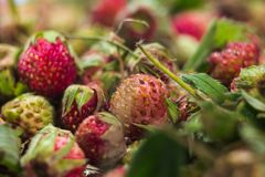 Forest summer red wild sweet strawberries berries background macro Royalty Free Stock Images