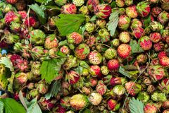 Forest summer red wild sweet strawberries berries background macro Royalty Free Stock Photo