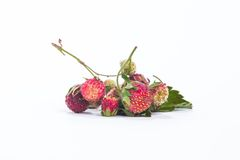 Forest summer red wild sweet strawberries berries background macro Royalty Free Stock Image