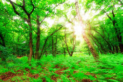 Forest summer sunburst Stock Photos
