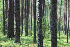 Forest in summer Royalty Free Stock Photography