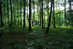 Forest in summertime in Denmark Royalty Free Stock Photo
