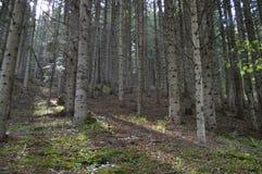 Forest Sun Arkivbilder
