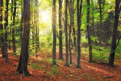 Forest and sun beams. At morning time Stock Photos