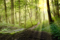 The forest Royalty Free Stock Image