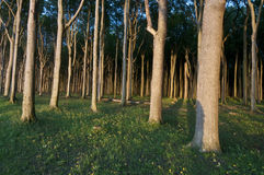 Forest in sun light. Coastal forest in sun light Royalty Free Stock Images