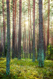 Forest and sun Stock Images