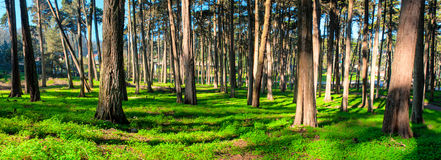 Forest with sun rays and lush grasses Stock Image