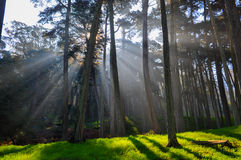 Forest with sun rays and lush grasses Royalty Free Stock Image