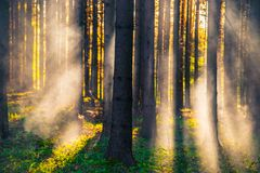 Forest and sun rays through mist royalty free stock photo
