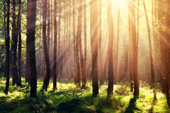 Forest with sun rays. Morning scene in the forest with sun rays royalty free stock images