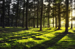 Forest with sun rays Royalty Free Stock Image