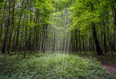 Forest. The sun's rays Shine through the thick forest Stock Photography