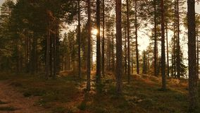 A forest. Sun is shinig through the trees in a forest in Finland Royalty Free Stock Photo