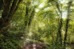 Forest Sun strålar arkivbilder