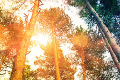 Forest with sun Stock Photography