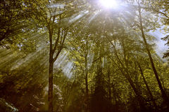 The forest sunbeam. The deep forest  sunbeam photo Stock Photography