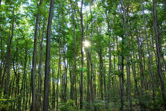 Forest Sunbeam Royalty Free Stock Image