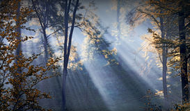 Forest sunbeams Royalty Free Stock Photography