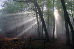 Forest Sunbeams. Atmospheric low light image of early morning sunlight bursting through the tree canopy to reach the forest floor. Taken on a misty morning Stock Photos